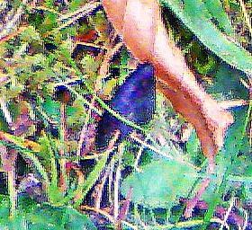 Gemeine Haarzunge(Trichoglossum hirsutum(Pers.) Boud. 1907))
