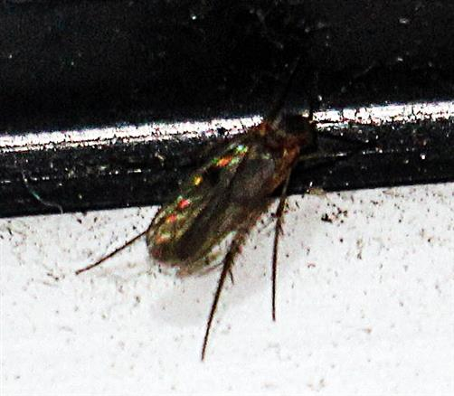 Pilzmücke(Dynatosoma)