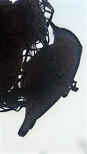 Kleiber(Sitta europaea(L.1758)) am Futterdrahtgeflecht