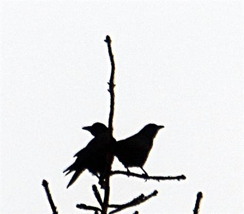 Zwei Saatkrähen(Corvus frugilegus(L. 1758)) am Rommelsberg Februar 2018