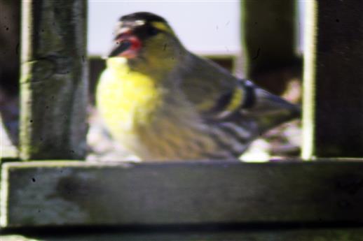 Männlicher Erlenzeisig(Spinus spinus(L. 1758)) im Vogelfutterhaus