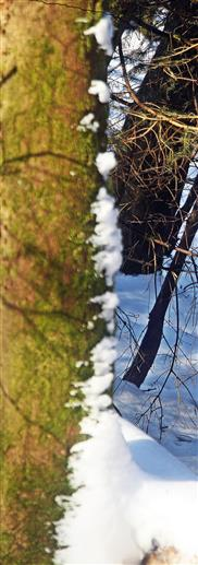 Reste einer Schneeverwehung an einer Rotfichte(Picea abies(L.))