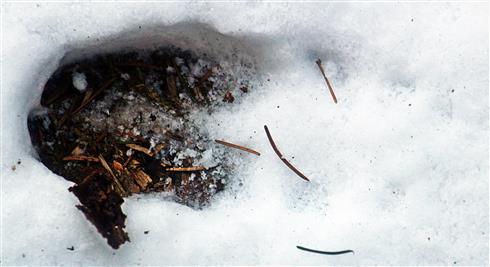 Trittsiegel eines Wildschweines(Sus scrofa(L. 1758)) im Schnee