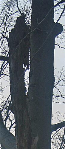 Abgestorbener Ast einer Rotbuche(Fagus sylvatica(L.)) auch als indirekte Nahrungsgurndlage für Spechte