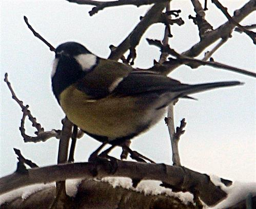 Kohlmeise(Parus major(L. 1758))