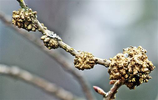(Bakterien-)Wucherung an Forsythien(Hybrid Forsythia x intermedia(Zabel))