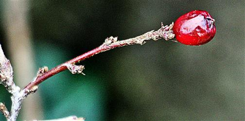 Übriggebliebene Frucht einer Gewöhnlichen Zwergmispel(Cotoneaster integerrimus(Medik.))