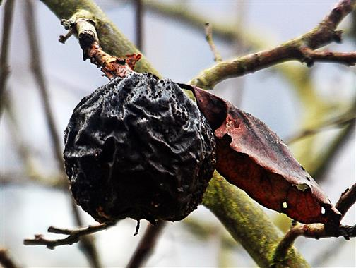 Letztjährige Quittenfrucht(Cydonia oblonga(Mill.))