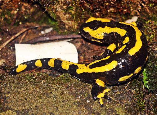 Gebänderter Feuersalamander(Salamandra salamandra ssp. terrestris(L. 1758)) unterwegs am Morgen