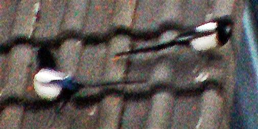 Elstern(Pica pica(L.1758)) auf dem Dach eines Wohnhauses