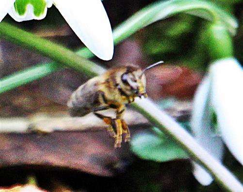 Westliche Honigbiene(Apis mellifera(L. 1758)) beim Abflug