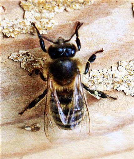 Westliche Honigbiene(Apis mellifera(L. 1758)) rastend