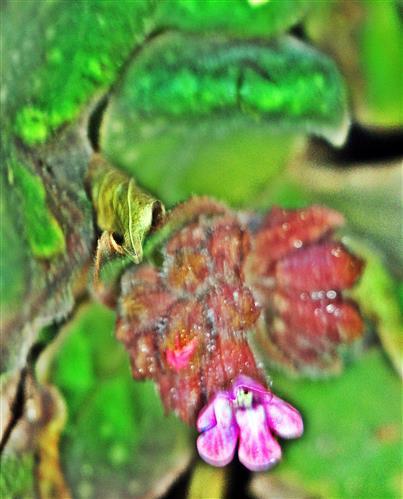 Blüte eines Gefleckten Lungenkrautes(Pulmonaria officinalis(L.))