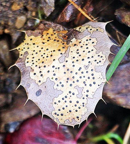 Altes Blatt der Gewöhnlichen Mahonie(Mahonia(Nutt.) aquifolium) mit Phragmidium(Pilz)