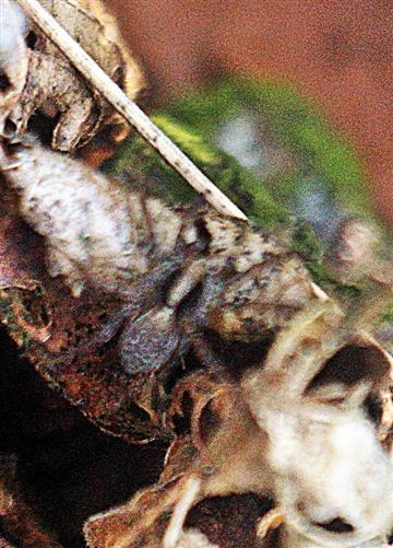 Wolfspinne(Pardosa lugubris(Walckenaer 1802))