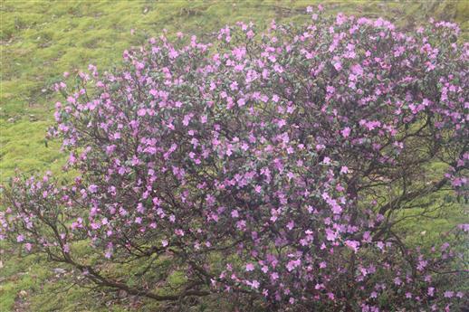 Blühender Rhododendronbusch(Rhododendron ponticum(L.))