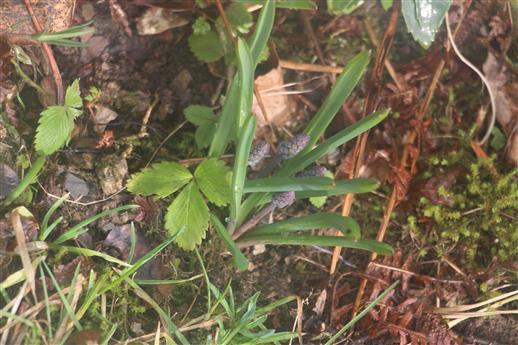 Blütenstand der Weinbergs-Traubenhyazinthe(Muscari neglectum(Guss. Ex Ten.)