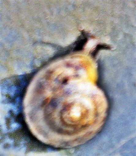 Steinpicker(Helicigona lapicida(L. 1758))