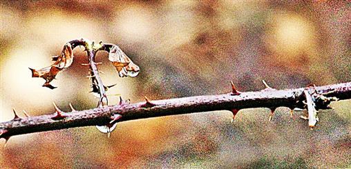 Regentropfen an einem Brombeerzweig(Rubus sectio Rubus)