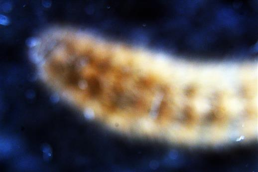 Raupe eines Zimtbären(Phragmatobia fuliginosa(L. 1758))