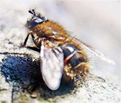 Raupenfliege(Tachina ursina(Meigen 1824))