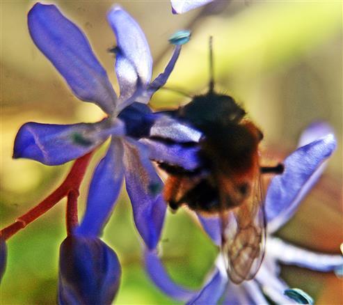 Zweifarbige Sandbiene(Andrena bicolor(Fabricius 1775)) an einer Blüte des Zweikeimblättrigen Blausterns(Scilla bifolia(L.))