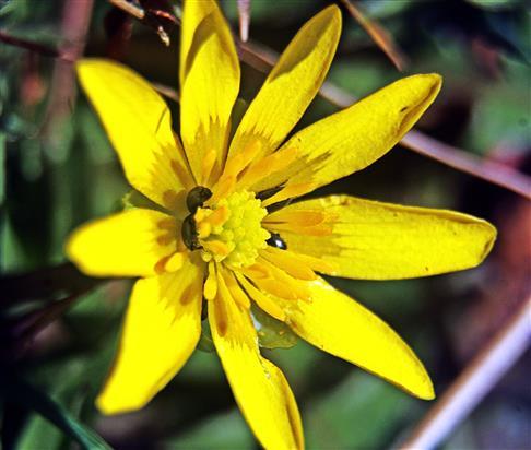 Blüte des Scharbockskrautes(Ficaria verna(Huds.))