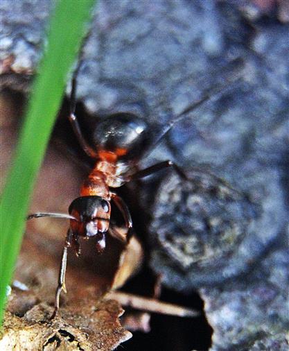 Arbeiterin der Roten Waldameise(Formica rufa(L. 1761)) April 2018