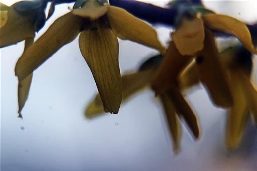 Blüten am Zweig eines Forsythienhybriden(Forsythia x intermedia(Zabel))