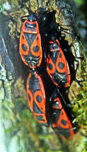 Gemeine Feuerwanzen(Pyrrhocoris apterus(L. 1758)) am Stamm einer Sommerlinde(Tilia platyphyllos(Scop.))