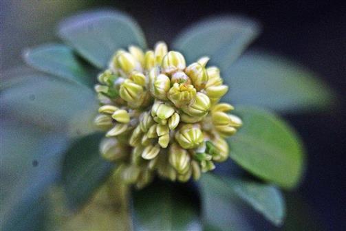 Knospender bzw. aufblühender Zweig eines Gewöhnlichen Buchsbaumes(Buxus sempervirens(L.))