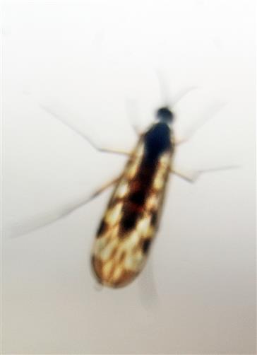 Gemeine Fenstermücke(Sylvicola fenestralis(Scopoli 1763))