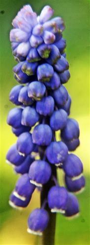Blütenstand einer Weinbergs-Traubenhyazinthe(Muscari neglectum(Guss. ex Ten.))