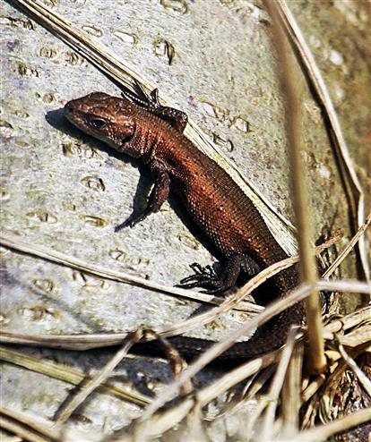 Junge Waldeidechse(Zootoca vivipara(Lichtenstein 1823)) 01