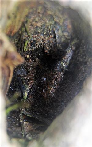 Astloch im Stämmchen einer jungen Rotbuche(Fagus sylvatica(L.))