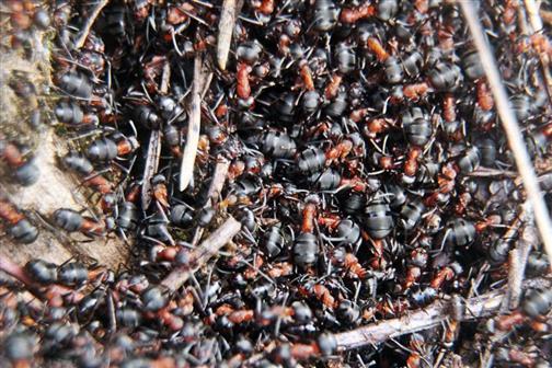 Blick auf einen kleinen Ameisenhaufen der Roten Waldameise(Formica rufa(L. 1761))