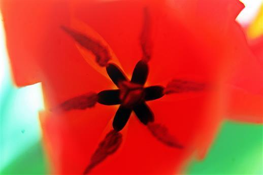 Einblick in eine Tulpenblüte(Tulipa(L.))