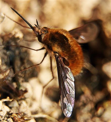 Großer Wollschweber(Bombylius major(Latreille 1802))