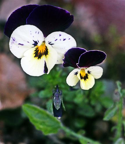 Weiteres Stiefmütterchen(Viola)