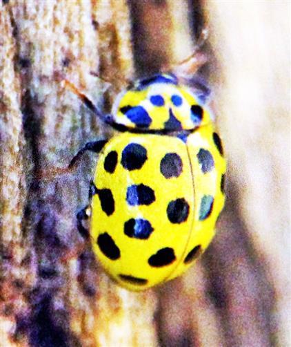 22-Punkt-Marienkäfer(Psyllobora vingitiduopunctata(L. 1758))