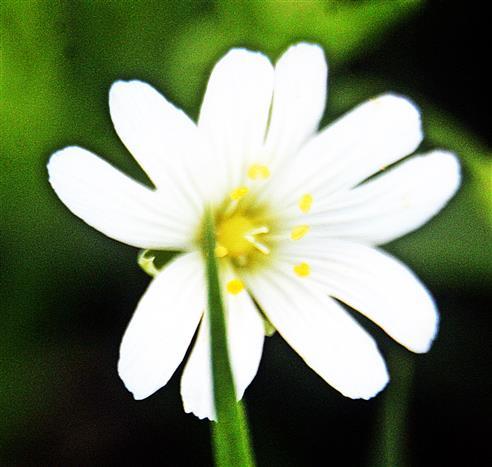 Blüte der Großen Sternmiere(Stellaria holostea(L.))