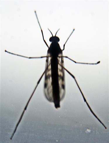 Gemeine Fenstermücke(Sylvicola fenestralis)