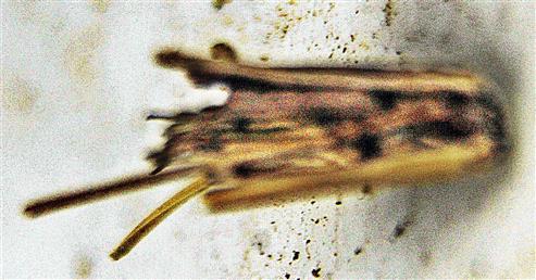 Gespinstsack der Raupen des Kleinen Rauchsackträgers(Psyche casta(Pallas 1767))