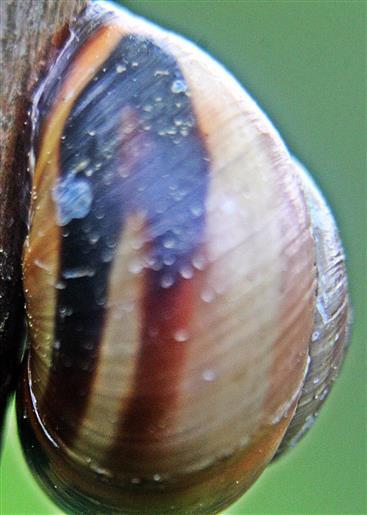 Gehäuse der Hain-Bänderschnecke(Cepaea nemoralis(L. 1758))