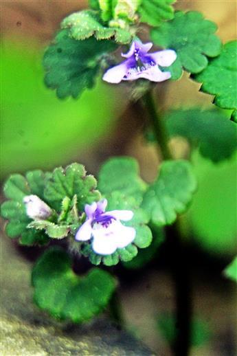 Blüten des Gundermanns(Glechoma hederacea(L.))