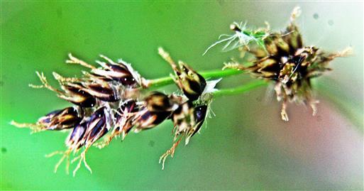 Krötenbinse(Juncus bufonius(L.))