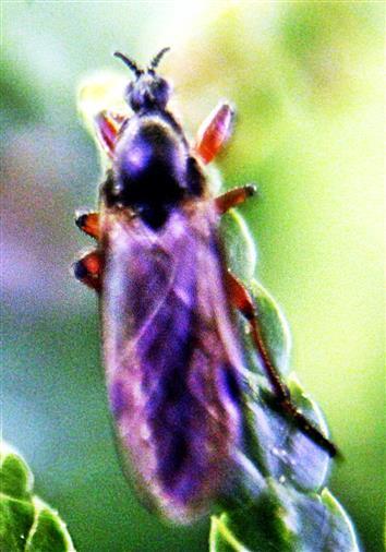 Märzfliege(Bibio varipes(Meigen 1830))