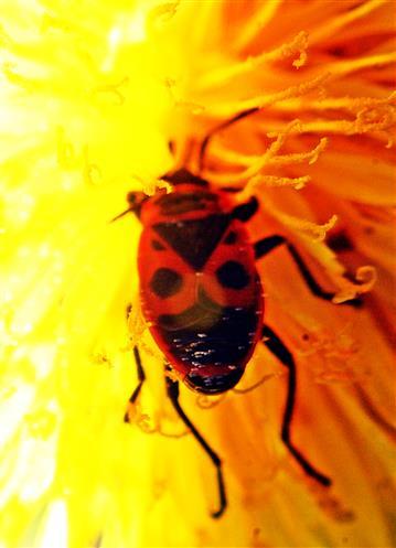 Gemeine Feuerwanze(Pyrrhocoris apterus(L. 1758)) beim Nektarsaugen