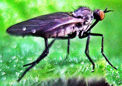 Schwarze Tanzfliege(Empis ciliata(Fabricius 1787))