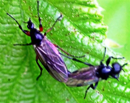 Haarmücken(Bibio varipes(Meigen 1830)) kopulierend